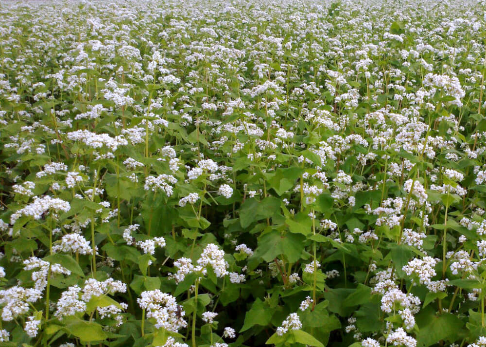 buckwheat product and crop information minn dak growers ltd